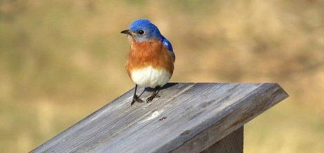 Bluebirds on the Gateway