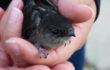 Chimney swifts: Mahtomedi's best-kept bird secret?